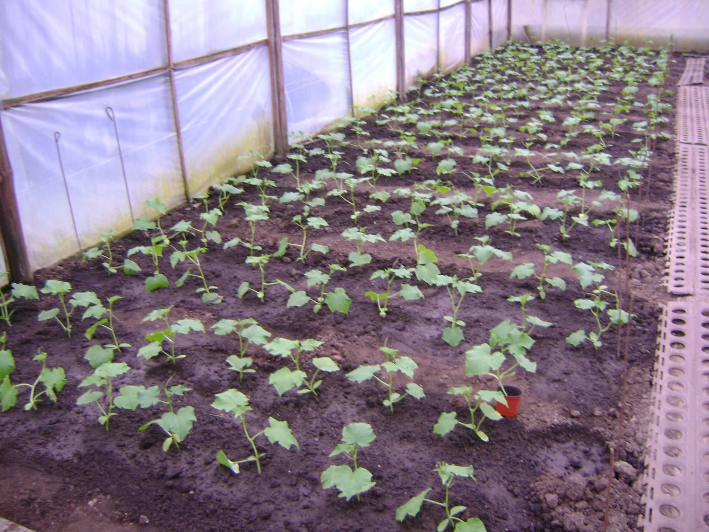 Огурцы : что можно посадить в одной теплице вместе с овощем 40